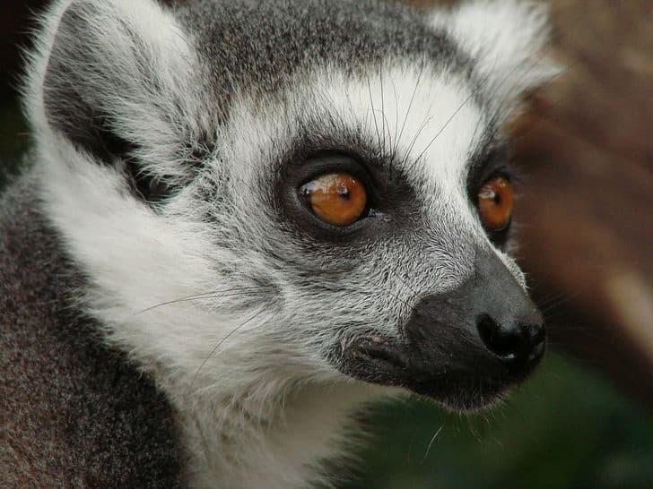 lemuri_madagascar_